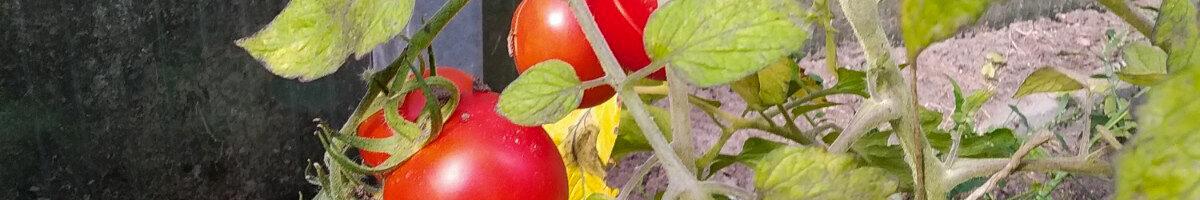 Tomatenvielfalt und Zuckermelonen im Schulgarten